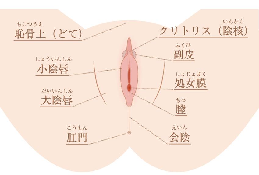 女性器の図解
